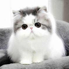 I love this cat. Persian.