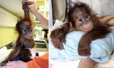Bulu Mata, whose name means 'long eyelashes' in Indonesian, is currently being nursed at Monkey World in Dorset by Kate Diver, 32, but staff hope one of the other orangutans will adopt him.