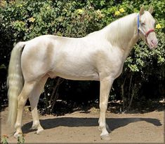 Cremello Tennessee Walking Horse stallion