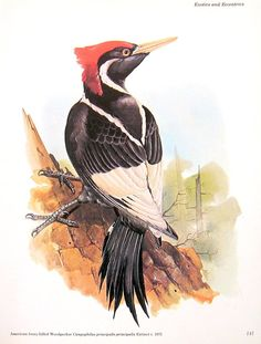 Ivory Billed Woodpecker Print - Extinct Animal - Vintage 1981 Animal Print - 12 x 9 on Etsy, $10.00