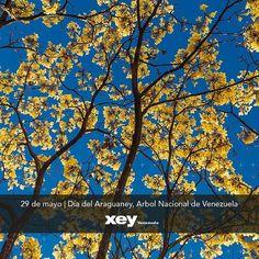 Rómulo Gallegos escritor #venezolano dijo que a las sabanas venezolanas llegaba la #Primavera de Oro cuando florecían los #araguaneyes.  El 29 de mayo de 1948 se declara el #Araguaney Árbol Nacional. Es un árbol autóctono y su altura oscila entre 6 y 12 metros. Su tronco es recto cilíndrico y de unos 60 centímetros de diámetro. La floración se presenta durante los meses de febrero a abril cuando está totalmente desprovisto de hojas. Las semillas están maduras al comenzar las lluvias lo que…