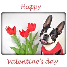 Happy hearts day!  Feel free to tag and send your special someone a Valentine greeting #valentines #heartsday #dudetheboston #bostonterrier #bostonterriersforever #bostonterriercult #bostonterriersofinstasgram #love #loversday #tulips by dude_the_boston