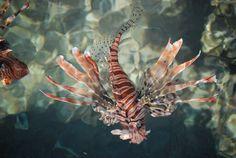 Lionfish, Egypt Octopus, Egypt, Nice, Cats, Animals, Gatos, Animales, Animaux, Animal