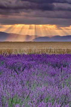 ~Sunbeams over Lavender~ Valensole is a farm town in the southeast of France, famous for its lavender. This photo was taken shortly after sunrise, as the sun broke through heavy clouds to light the distant hills beyond the wheat and lavender fields Beautiful World, Beautiful Places, Beautiful Pictures, Beautiful Sky, Farm Town, Lavender Fields, Lavander, Lavender Garden, Belle Photo