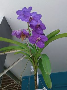 Orquidea (Banda lila)