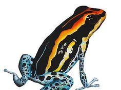 Ilustracion Ranitomeya amazonica (rana punta de flecha)