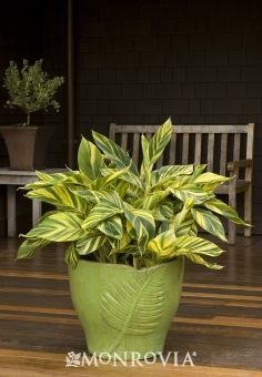 Monrovia White Variegated Shell Ginger Flowering Shrub In Pot (With Soil) 002002 - All About Gardens Leafy Plants, Tropical Plants, Pot Plants, Tropical Garden, Indoor Plants, Growing Ginger, Paradise Plant, Ginger Plant, Monrovia Plants