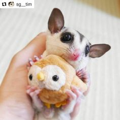 cute pict by . Hi this is me and my tiny friend . Sugar Glider Care, Sugar Gliders, Sugar Glider Toys, Animals And Pets, Baby Animals, Cute Animals, Baby Skunks, Sugar Bears, Flying Squirrel