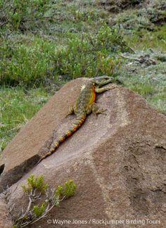 Lizard, Drakensberg Crag_Lesotho_SA VI South Africa Wildlife, Tours, Animals, Animales, Animaux, Animal, Animais