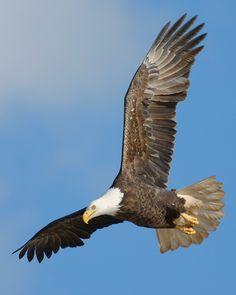 Bald Eagle Festival in Sheffield Mills, Nova Scotia » Focusing on Wildlife
