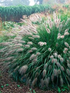 Plant these ornamental grasses en masse. They also mix well with other perennials.