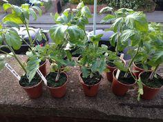 Medley Manor Farm tomatoes!!