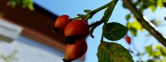eine gute Heilpflanze ist dieHagebutte-Hagebuttenöl diy