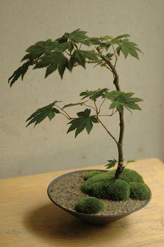 Bonsai Ficus, Maple Bonsai, Bonsai Plants, Bonsai Trees, Bonsai Flowers, Garden Terrarium, Bonsai Garden, Garden Plants, Air Plants