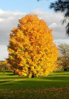 A burst of happiness among the lush green fields! Unique Trees, Colorful Trees, Landscape Wallpaper, Nature Wallpaper, Garden Trees, Trees To Plant, Autumn Scenes, Nature Tree, Fall Pictures
