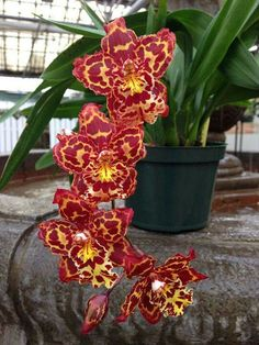 Bonte orchidee