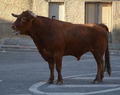 De Todo un Poco: Vacas Arriazu Fiestas de Santa Eufemia Año 2015 Moose Art, Horses, Animals, Saints, Cows, Siblings, Fiestas, Animales, Animaux