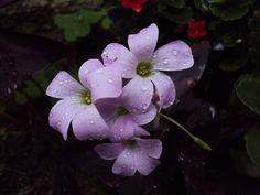 Flor de trevo lilás