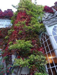 Creeping Virginia on Luttrellstown Castle in Ireland. SO pretty