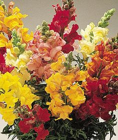 direct sow-- dwarf, part shade -- Cinderella Mixed Colors Snapdragon Seeds and Plants, Annual Flower Garden at Burpee.com