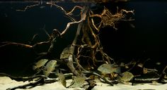 Mangrove Biotope Aquarium | Thread: Japes' 2010 Eartheater Work/Photolog