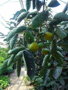 :) Plum, Flora, Fruit, The Fruit