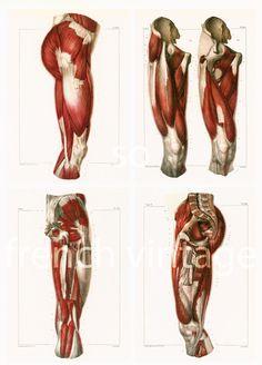 29X40cm Muscles de la cuisse, Jambe, Reproduction Planche Anatomique Corps…