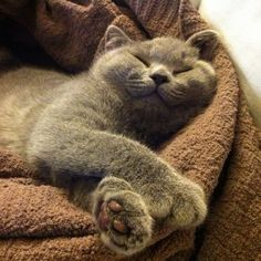 british shorthair / always smiling, looks exactly like me when I'm sleeping!