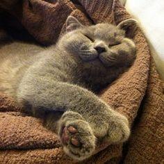 british shorthair / always smiling, looks exactly like me when I'm sleeping!