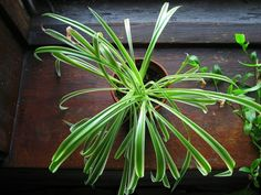 Houseplants bring lush color and texture to the interior of your homeunless theyre yellowed shriveled or covered with fungus. Here are 11 reasons your houseplants are dying with tips on how to save the greenery from an early grave. Borax Cleaning, Diy Home Cleaning, Deep Cleaning Tips, Household Cleaning Tips, Cleaning Recipes, House Cleaning Tips, Diy Cleaning Products, Cleaning Hacks, Speed Cleaning