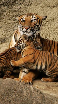 tiger, cubs, caring, playful