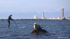 Rencontre du 3ème type Encounter of the 3rd kind © Philippe Le Stum Photography #encounter #rencontre #kind #type #seal #phoque #hello #bonjour #paddle #lighthouse #phare #eckmull #sea #mer #océan #finistère #bretagne #photography #photographyoftheday #PhilippeLeStum