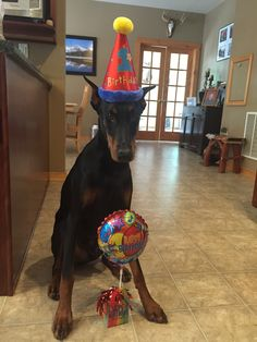 Happy 1st Birthday Zeus! We are celebrating our Dobermans birthday big! He's part of the family and deserves a big birthday celebration!
