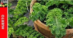 Compost, Plantar, Kale, Backyard, Nagoya, Blog, Potting Soil, Kitchen Herbs, Organic Fertilizer