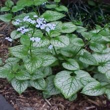shade garden Jack frost brunnera- perennial grows well in shade, offers beautiful variegated foliage, and is deer resistant. Enjoys well-drained soil that is rich in organic matter. Dry Shade Plants, Shade Garden Plants, Garden Shrubs, Landscaping Plants, Woodland Plants, Woodland Garden, Moon Garden, Dream Garden, Jack Frost