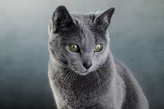 Image result for russian blue cats with green eyes