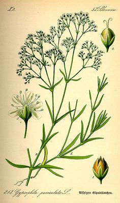 400px-Illustration_Gypsophila_paniculata0.jpg (400×677)