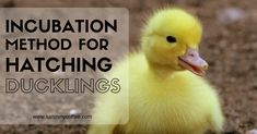 Hatching Ducklings at Home - Our Method for High Hatch Rates -- It's easy to hatch your own ducklings at home, with a very high success rate. Here's how we hatch out hundreds of vigorous, fluffy ducklings every year.
