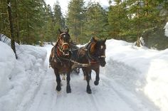 horses, Austrian Alps