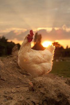 Weißes Huhn in der Abendsonne