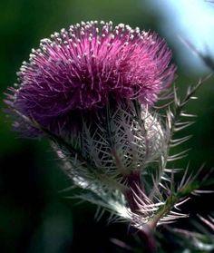 thistle-Queen Margaret Of Scotland & The Isle's