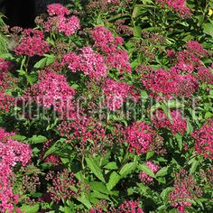 image de Spiraea japonica Anthony Waterer Photos, Gardening, Image, Gardens, Shrubs, Flowers, Pictures, Photographs, Lawn And Garden