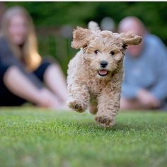 """""""Hi I'm Paisley! I am a 2 month old Australian labradoodle! I love to play as you can tell!"""" writes @ .paisleythelabradoodle. #dogsofinstagram #dog #L4L #cat #F4F #cute"""