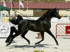 So fine!!  Duaig Ibn Alixir-Black Straight Egyptian Arabian Horse | ... Top 5 At Spanish Nationals! |