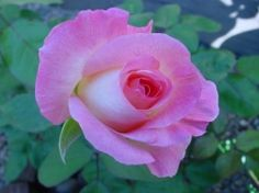 'Princess Diana's' legacy lives on with a blended-pink hybrid tea rose.