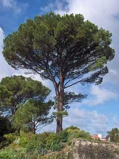 Pinus pinea Italian Stone Pine, Umbrella Pine- great for getting pine needles to balance soil oh and the edible pine nuts. will eventually turn into a shade tree as well
