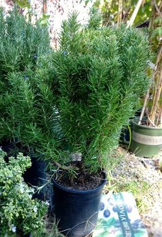 Tuscan Blue Rosemary, a plant that will do SO much in the garden. Drought tolerant and easy care, this plant will attract butterflies and birds to its blue flowers, is deer resistant, and has a wonderful aroma to its foliage when crushed.  A nice addition to dresser drawer or stale closet shelf.  Easy care plant good for garden or containers...