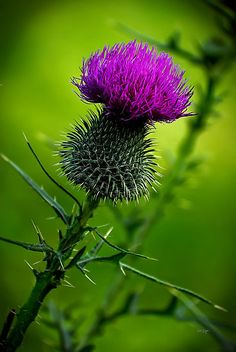 Common throughout the highlands, islands and lowlands of Scotland, the prickly purple thistle has been Scotland's national emblem for centuries. This proud and regal plant, which grows to a height of five feet, has no natural enemies because of the vicious spines that cover and protect it like a porcupine.