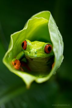 A small frog peers out from inside a plant by Peter Krejzl.