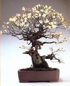 Wild Flowering Apricot Bonsai (Prunus). This is one of the oldest and most magnificent Flowering Apricots I've come across. The contrast of the gnarled ancient trunk with the delicate new blooms is spectacular.